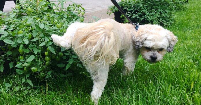 cane fa pipì su un cespuglio
