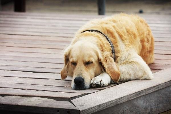 Perché il cane sbatte le palpebre continuamente?