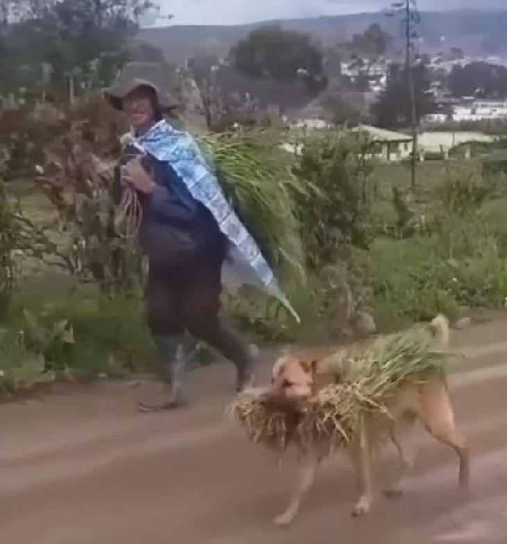 Cane di campagna aiuta sempre il suo umano a portare il raccolto (VIDEO)