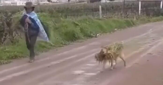 cane campagna aiuta suo umano con raccolto