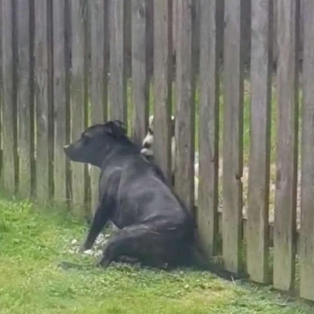 Cane esige ogni giorno un massaggio dal cucciolo del vicino (VIDEO)
