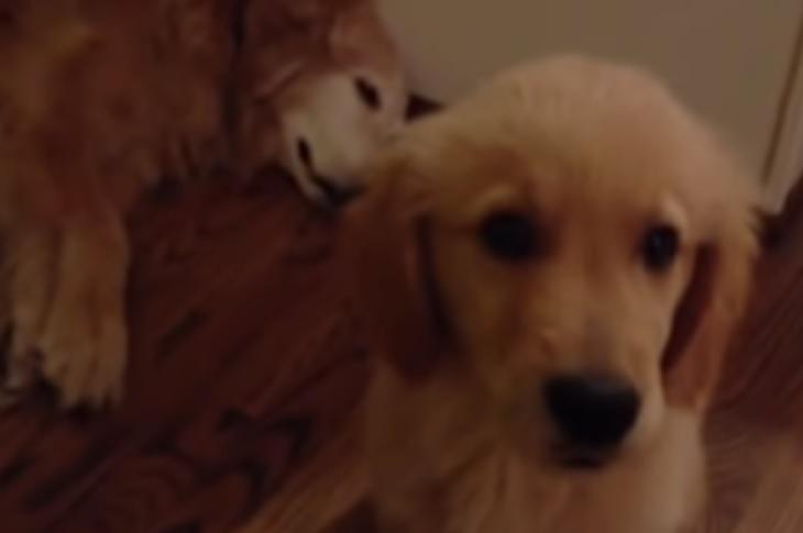 Cane golden retriever ha gli incubi, il giovane amico lo conforta (VIDEO)