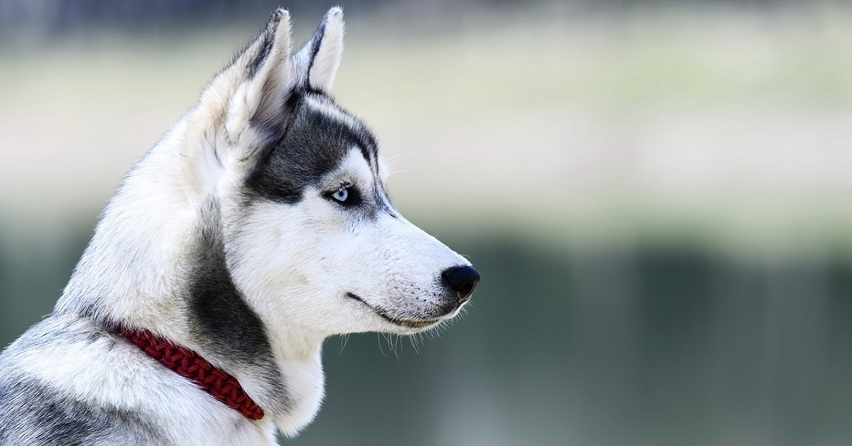 cane husky con collare