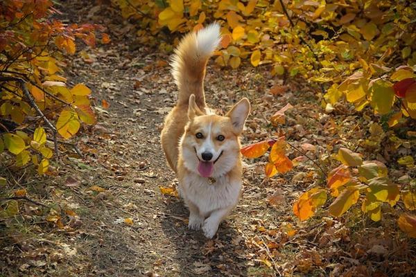 Cucciolo di cane con coda sempre alzata, perché lo fa?