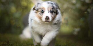 cucciolo di cane con occhi azzurri