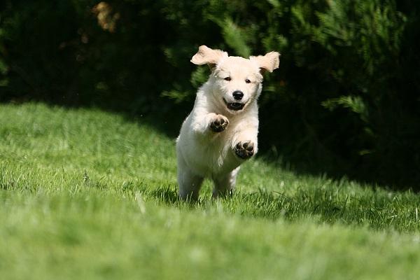 cucciolo di cane labrador che corre