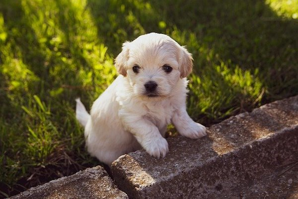 Cucciolo di cane inciampa costantemente: cosa significa e cosa fare