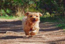 cucciolo di cane cammina male