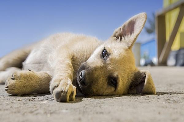 Cucciolo di cane rachitico: sintomi, cause e cose fare