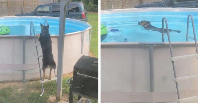 cucciolo pastore tedesco entra furtivamente piscina