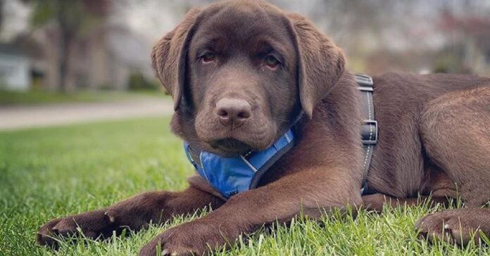 Brody, il cucciolo di labrador retriever