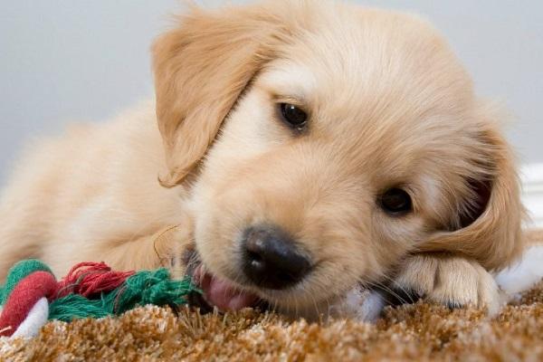 Cucciolo di cane e guinzaglio: qual è quello davvero perfetto?