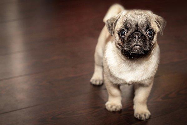 I cani possono mangiare cibi crudi? Quali sono le conseguenze?