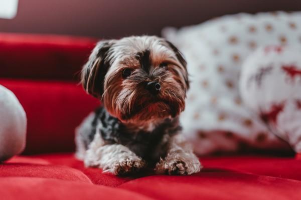 Come toelettare alla perfezione uno Yorkshire Terrier