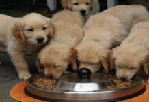 cucciolo di cane mangia