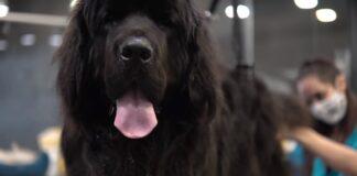 cane terranova dal tolettatore processo