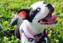 riley cane boston terrier tappeto