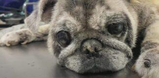 salvataggio bulldog abbandonato perché brutto