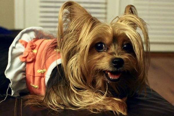 Cuccioli di Yorkshire Terrier, tutte le cure da dargli fin dall'inizio