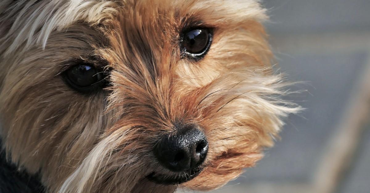 Cuccioli di Yorkshire Terrier, come pulirli: occhi, musetto e pelo, tutte le attenzioni