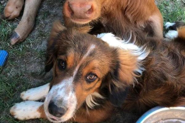Bo, il cagnolino che è diventato il migliore amico di un vitello disabile salvato dall'eutanasia
