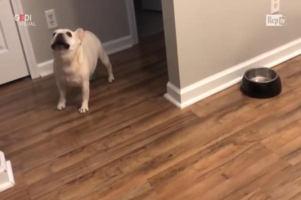 Bulldog a dieta si lamenta per la ciotola vuota