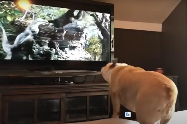 Bulldog che guarda un film, la reazione è esilarante