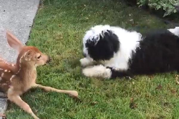 Buster, il cagnolino che si è innamorato di un tenero cerbiatto (video)