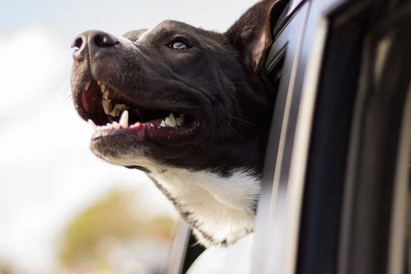 Cane chiuso in auto sotto il sole salvato da un poliziotto: la giustificazione della proprietaria indigna il web (video)