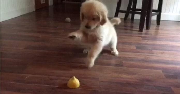 Cucciolo di Golden Retriever assaggia il limone
