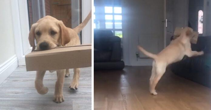 Cucciolo di Labrador con un pacco in bocca