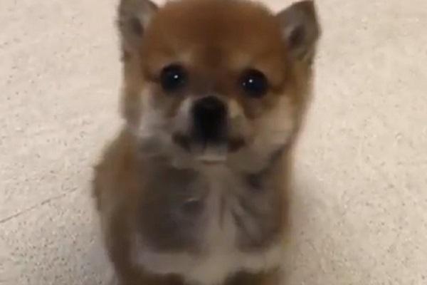 Cucciolo minuscolo conquista il web con la sua allegria (video)