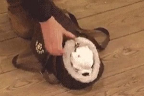 Cucciolo si prepara per uscire ed entra nella borsa della padroncina (video)