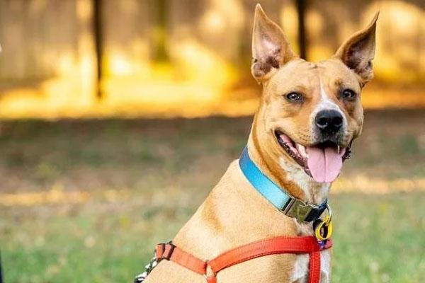 Delilah, lo Staffordshire Bull Terrier ridotto pelle e ossa che è finalmente rinato