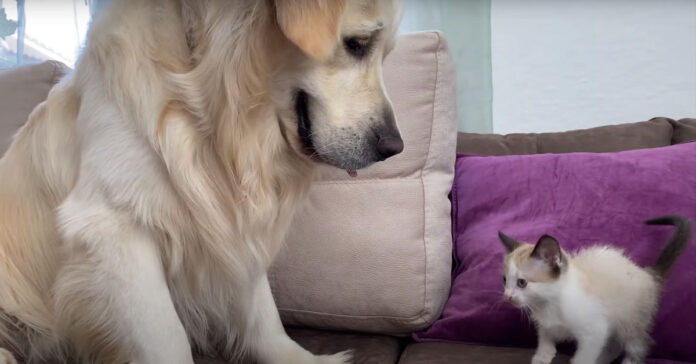 Golden Retriever con un gattino