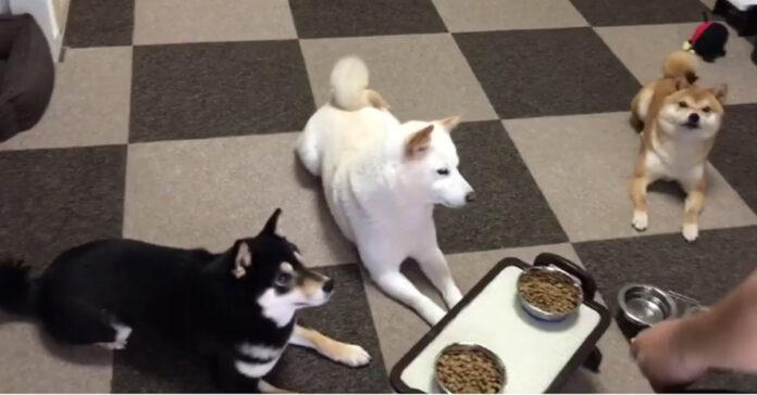 Shiba Inu pronti a mangiare
