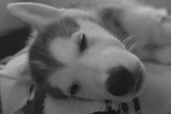Ice, l'Husky in fin di vita salvato dai suoi angeli custodi che ora è felice (video)