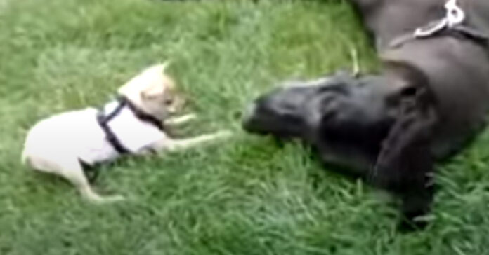 Chihuahua gioca con un Alano