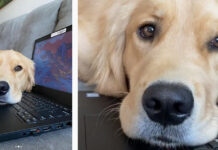 Golden Retriever su un computer