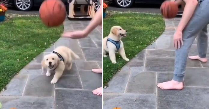Cucciolo di Golden Retriever gioca a basket
