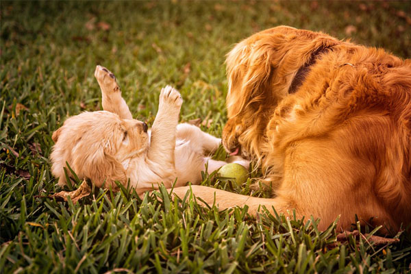 Il cucciolo di Golden Retriever sfida un vetro invisibile (video)