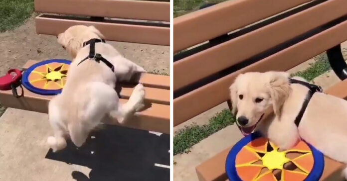 Cucciolo di Golden Retriever su una panchina