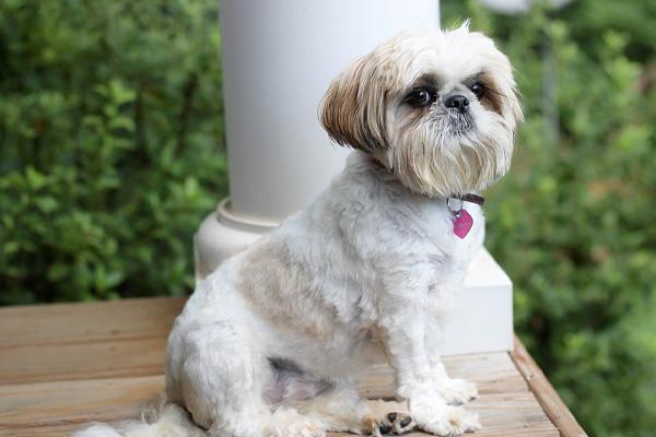 """Il cucciolo di Shih Tzu gioca con il proprietario e la loro """"lotta"""" intenerisce il web (video)"""