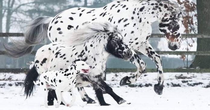Dalmata con due cavalli