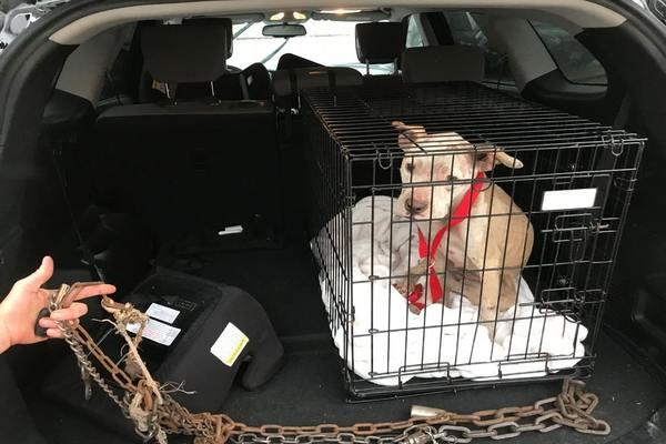 L'incredibile salvataggio del pitbull Daisy