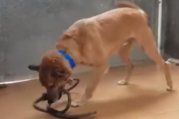 Cane con un guinzaglio in bocca