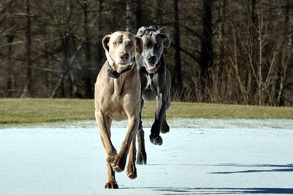 Alani che corrono