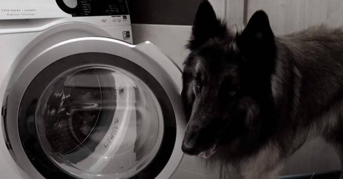 Pastore Belga davanti alla lavatrice