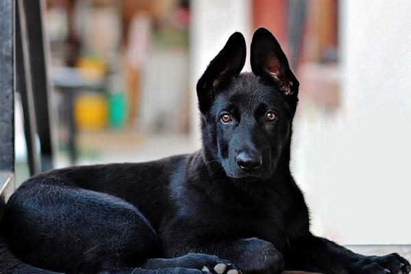Riceve un cucciolo di Pastore Tedesco dopo la morte del suo cane: la reazione è commovente (video)