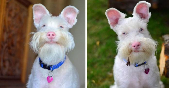 Sherlock cane Schnauzer albino